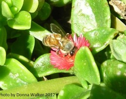 Honey Bee on Apple Ice Plant
