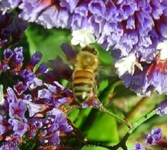 Bee on Purple Statice