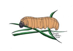 Fiery skipper caterpillar