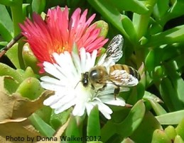 Honey Bee Gathering Nectar