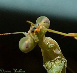 Close-up of the eyes of a mantis