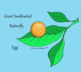 Giant Swallowtail Butterfly Egg