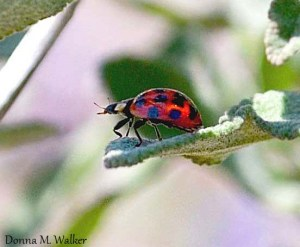 Asian Lady Beetle on White Sage