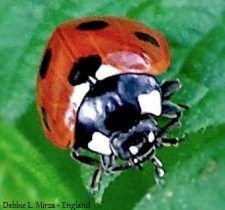 English Ladybird