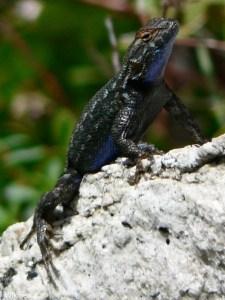 western fence lizard on stone