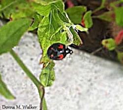 Young Asian Ladybug