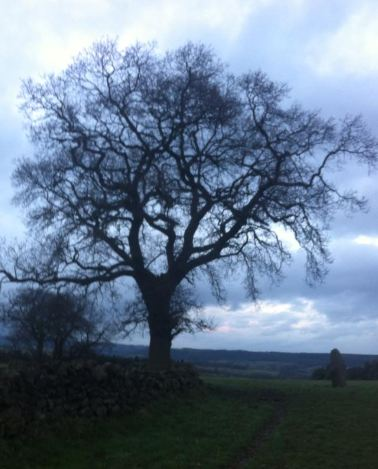 Oak at Nine Stones