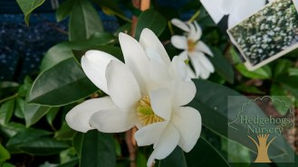 Michelia Fairy Magnolia Cream.