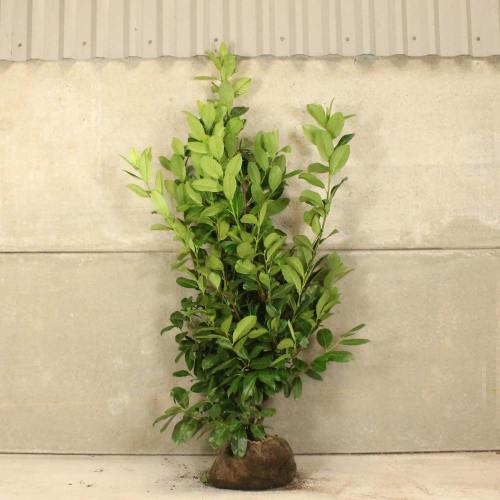 Medium Crop Of Cherry Laurel Tree