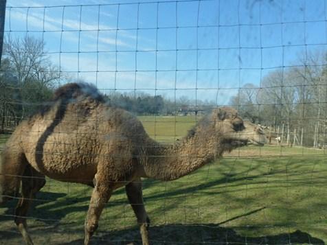 Circle G Ranch Camel