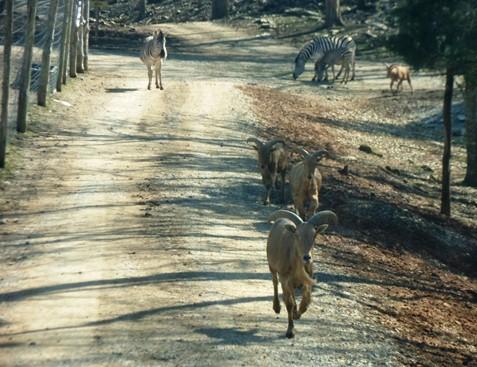 Circle G Ranch Mountain goats running