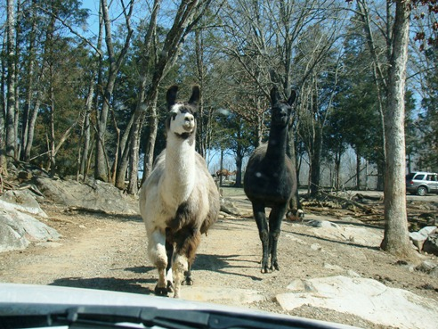 Circle G Ranch llamas on the run