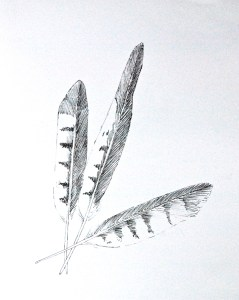 Drawing of three hawk feathers