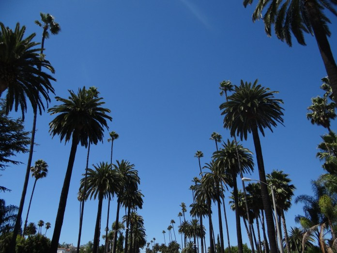 Hollywood Palm Ttrees