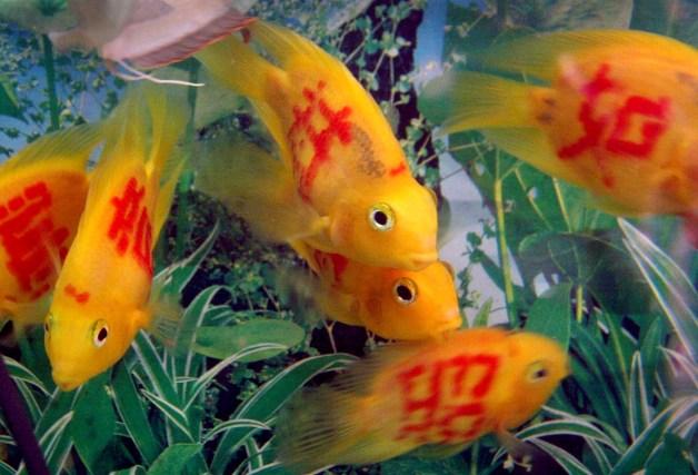 Tattooed Parrotfish