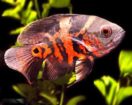 oscar_fish