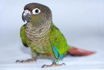 Green Cheek