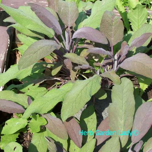 Medium Crop Of Sage Pest Control