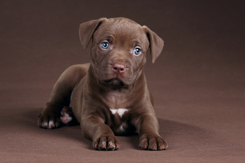 Cute Wallpapers Of Dogs And Puppies Absolutely Adorable American Pit Bull Terrier Puppies