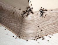Was hilft gegen Ameisen im Haus und in der Wohnung?- HEROLD.at