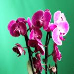 guida per prendersi cura di un'orchidea phalaenopsis