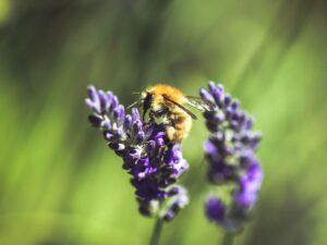 ape su una pianta di lavanda, pianta amica delle api