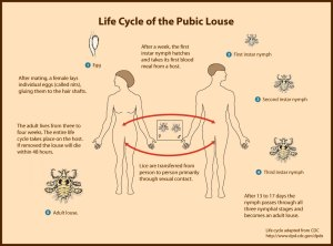 pubic-louse-lifecycle