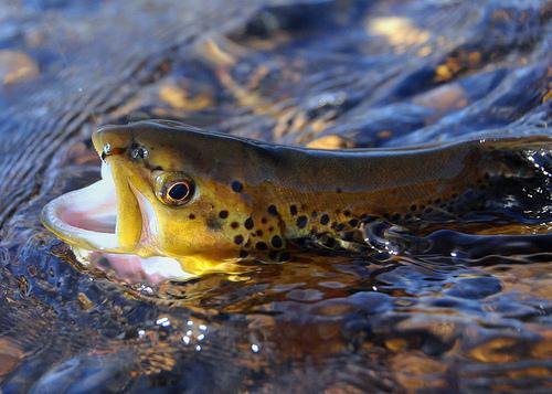 Smoky mountain spring trout tournament hey smokies for Smoky mountain fly fishing