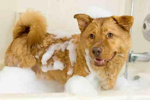 Medium Of How Often Should You Bathe A Dog