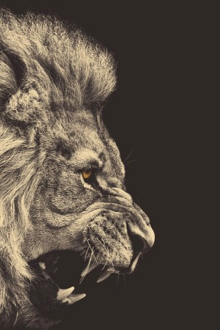 Windows Phone Car Wallpapers Angry Lion Hd Wallpapers