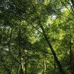 The beautiful tree canopy along the Bear Valley Trail.