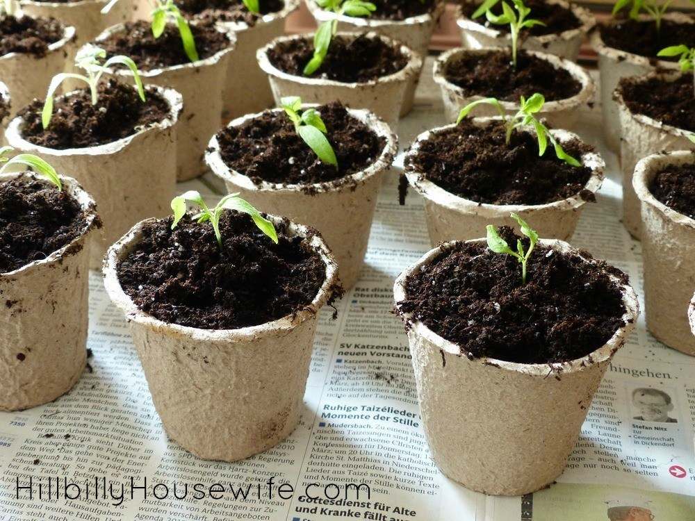 Why I'M Growing Tomato Plants In My Yard - Hillbilly Housewife