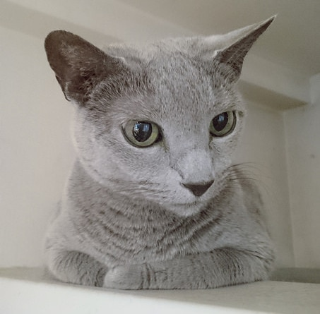 Russian Blue Cat Facts and Personality Traits Hill\u0027s Pet