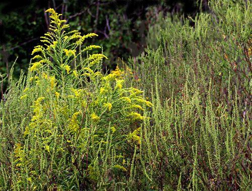 Common Ragweed, Ambrosia artemisiifolia Stealthy Sneezemaker