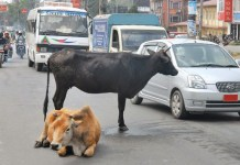 cow on the roads