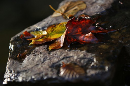 wet-leaves on a rocl