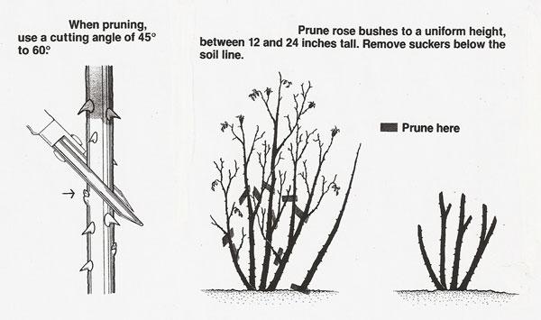 How To Prune Rose Bushes | Hirerush Blog
