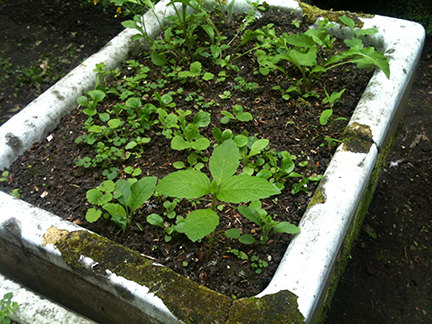 old ceramic sink where we're growing salad, full of weeds