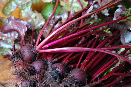 freshly dug up beetroot