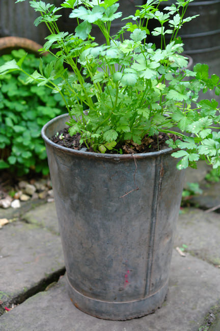 vintage galvanised zinc florist's pot used to grow herbs