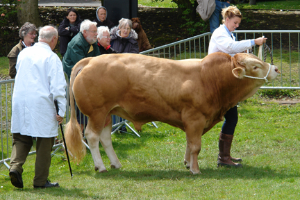 bull on parade at the Todmorden Agricultural Show