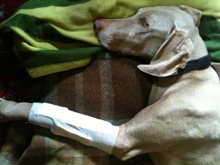 Fudge lying on his bed with a bandaged left fore paw
