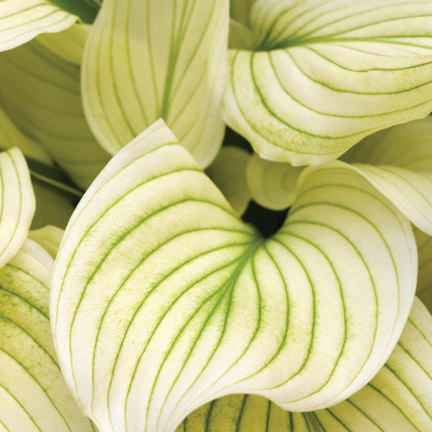 Hosta White Feathers