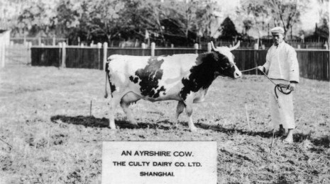 Ayrshire Cow - edit