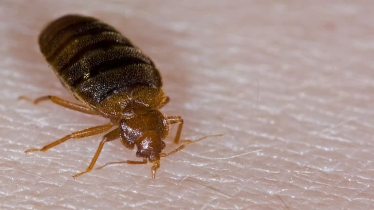 They\u0027re Back A Bed Bug History - HISTORY