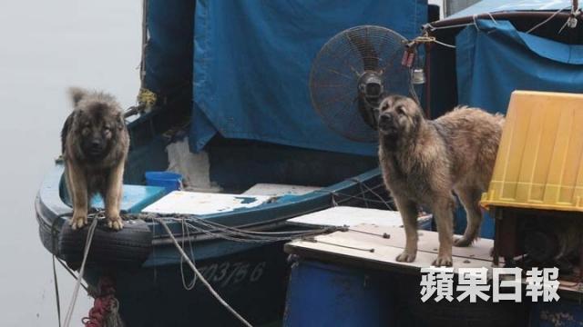 被指咬人的狗狗慘被捉往漁護署。圖右為波波,現已被漁護署捉往調查。 圖片來自蘋果日報