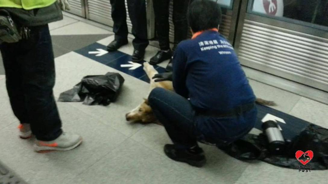 西鐵疑撞傷唐狗。 香港動物報圖片