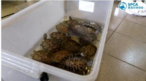 上周五才剛救出48隻巴西龜