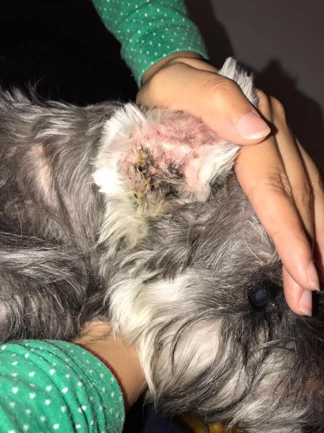 史納莎的健康情況也不佳。 圖片取自毛孩守護者facebook