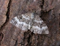 zhandritaz: common carpet moth